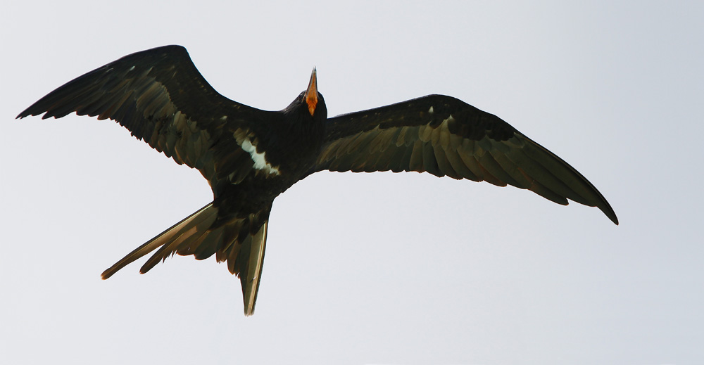 Frégate ariel, Lesser Frigatebird, Fregata ariel, Tetiaroa