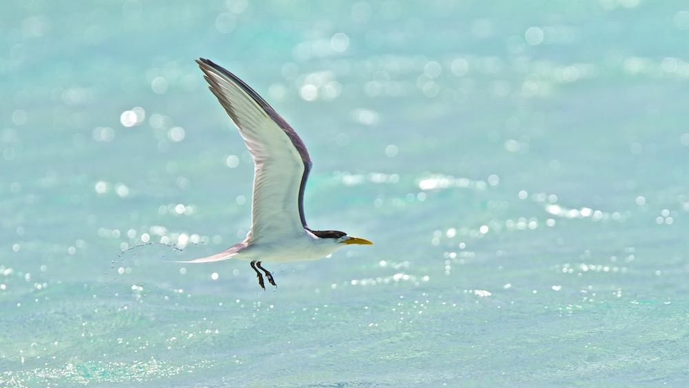 Sterne huppée, Greater Crested Tern, Thalasseus bergii, Rahuna Iti, Tetiaroa
