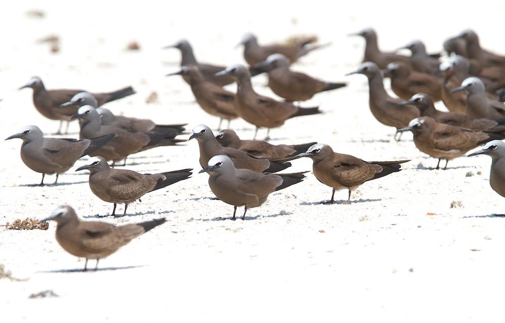 Noddi brun, Brown Noddy, Anous stolidus, Tetiaroa
