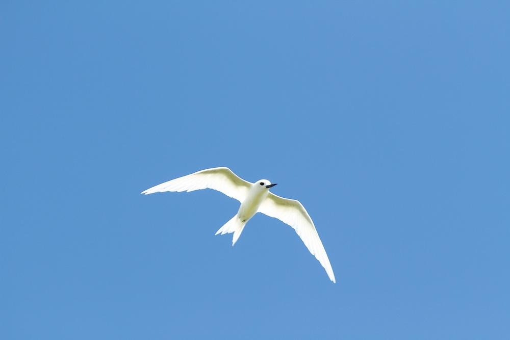 Gygis blanche, white tern, Ahe, oiseaux, Tuamotu