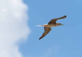 Red-footed booby, birds, Tuamotu, Ahe