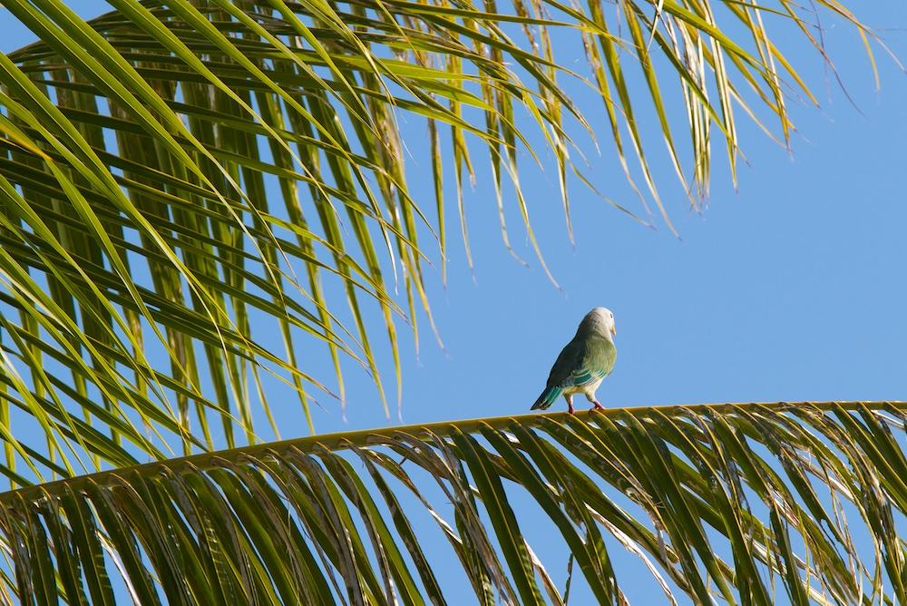 Ptilope, Tuamotu, Ahe, oiseaux