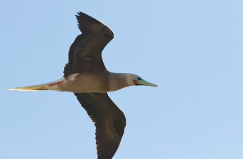 Fou à pieds rouges, oiseaux, Tuamotu, Ahe