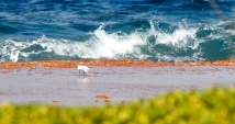 Aigrette sacree, Pacific Reef Heron, Egretta sacra, birds, Tuamotu