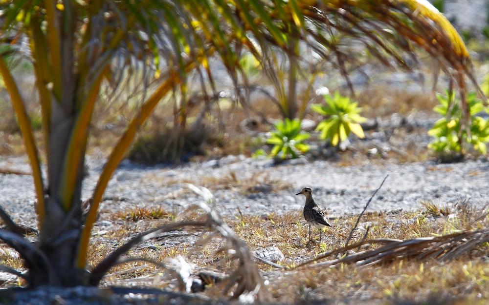 Pluvier fauve, Pacific golden plover, pluvialis fulva, Ahe, Tuamotu