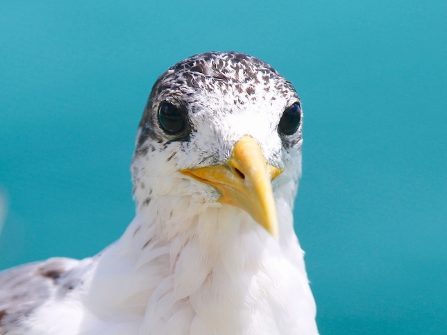 Greater Crested Tern, Bora-Bora, French Polynesia