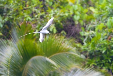 Phaeton à bec jaune, White-tailed Tropicbird, Phaethon lepturus, Tahiti, Polynésie française