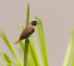 Capucin donacole, Chestnut-breasted Mannikin, Lonchura castaneothorax, Tahiti, Polynésie française