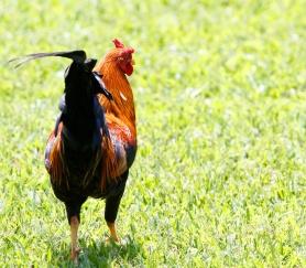Coq bankiva, Red Junglefowl, Gallus gallus, Tahiti,