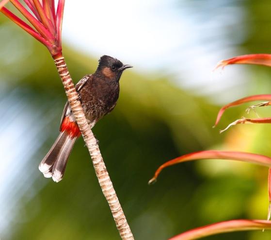 Bulbul à ventre rouge, Tahiti