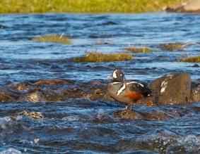 Harlequin duck, wildlife, Iceland