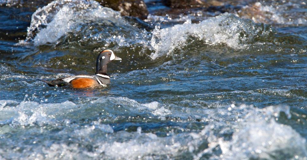 arlequin plongeur, faune, Islande