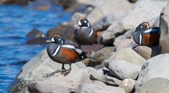 Garrot arlequin, Islande, faune