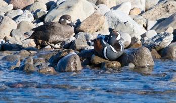 couple, arlequin plongeur, Islande, faune, male, femelle