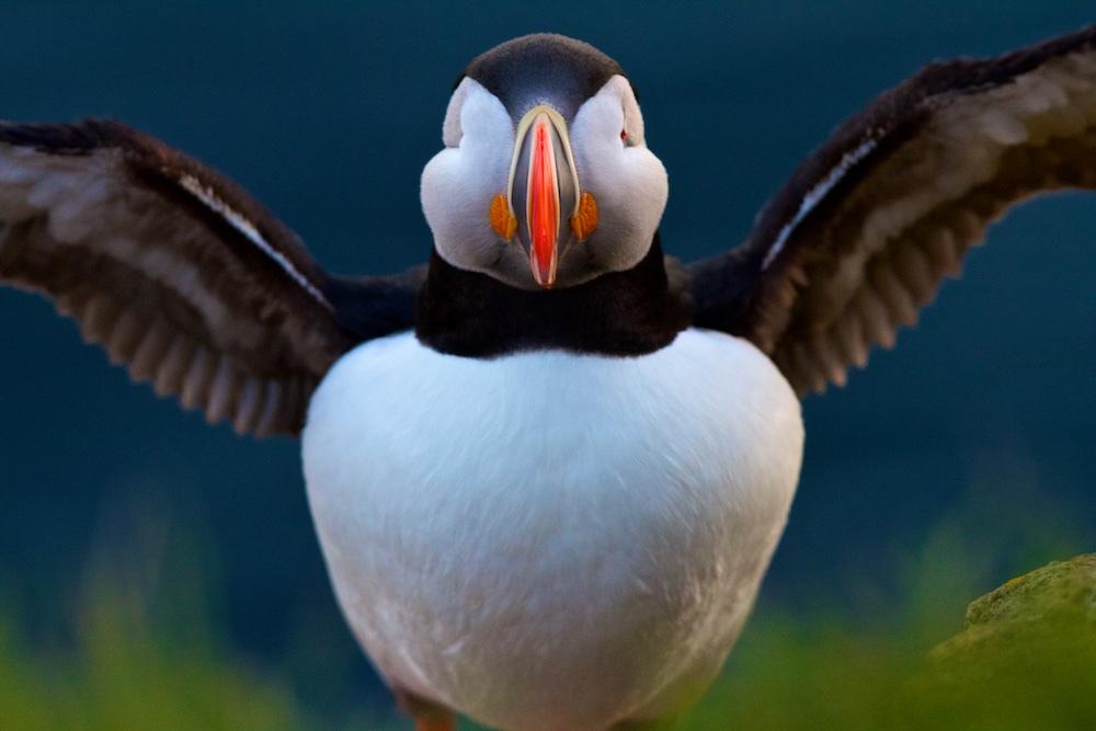 Macareux moine, Latrabjarg, Islande, oiseaux