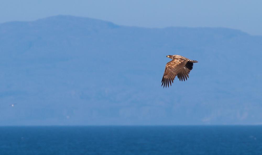 Pygargue a queue blanche, White-tailed Eagle, Haliaeetus albicilla