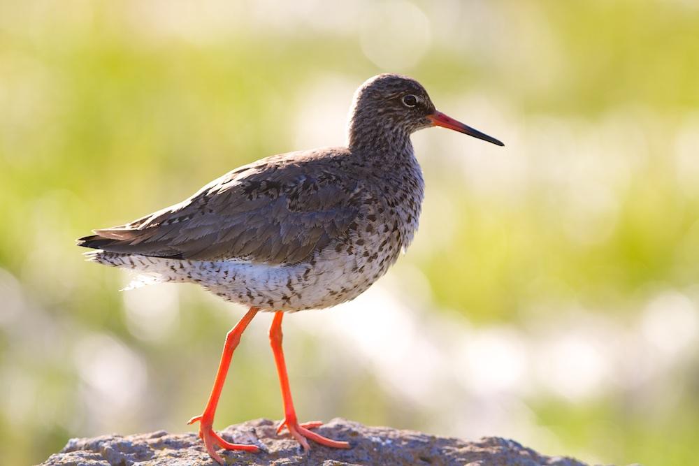Chevalier gambette, oiseaux, faune, Islande