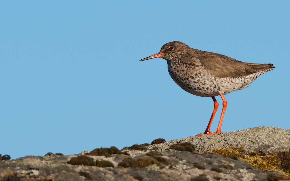 Chevalier gambette, Common Redshank, Tringa totanus