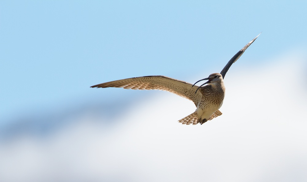 Whimbrel, birds, wildlife, Iceland
