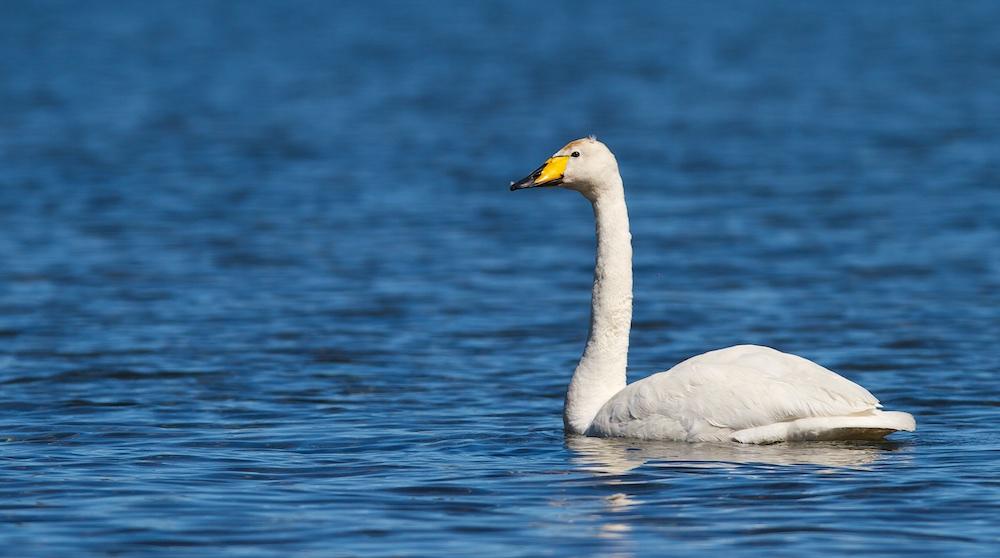 Cygne chanteur, Whooper Swan, faune, oiseaux, Islande