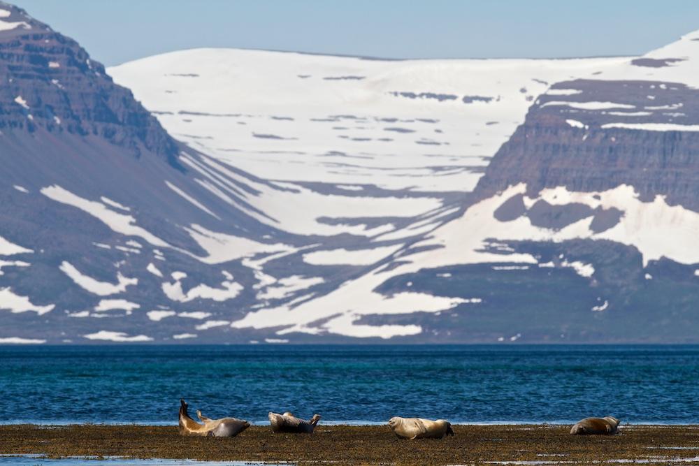 Djup, harbour seal, fjord