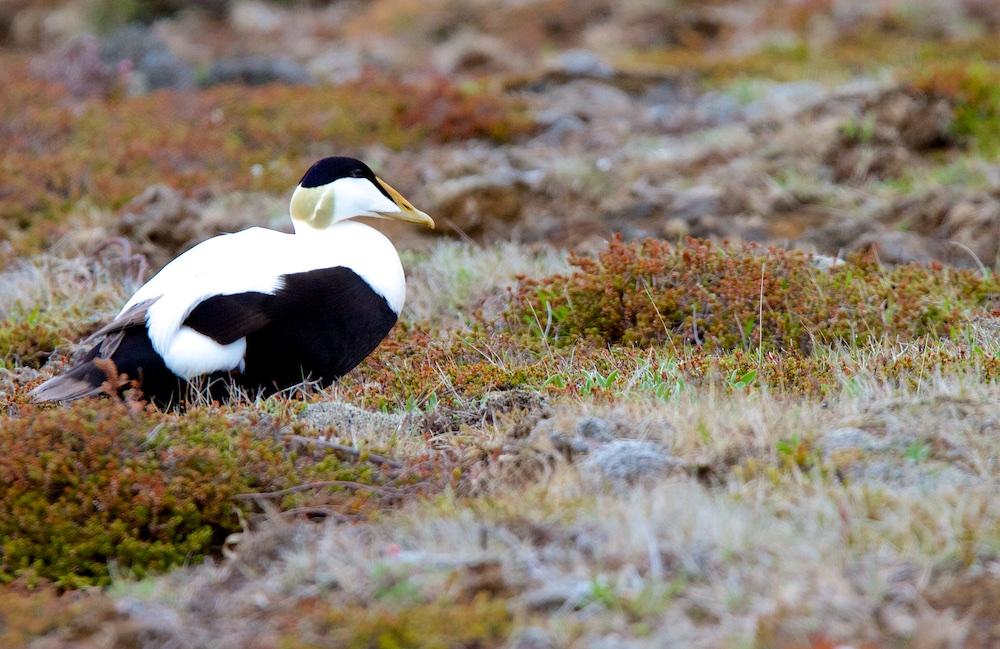 Eider a duvet, oiseaux, Islande