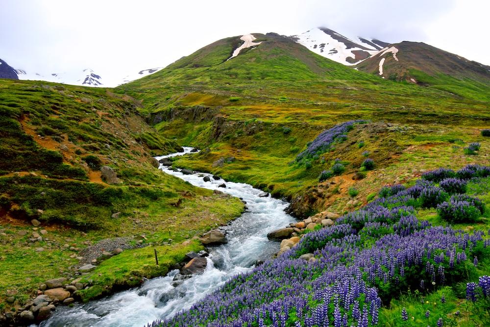 Dalvik, mountains, Lupinus nootkatensis