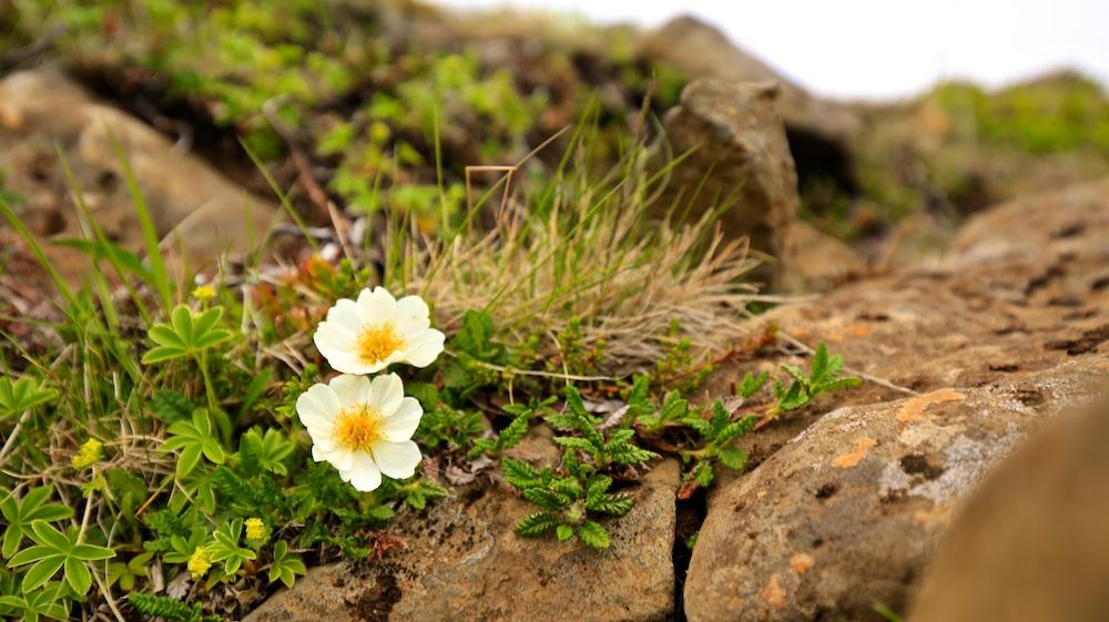fleur, flore, Islande, Dryas octopetala, dryade