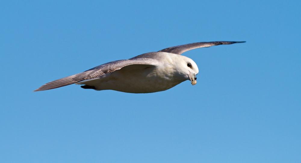 fulmar, oiseaux, islande, vol
