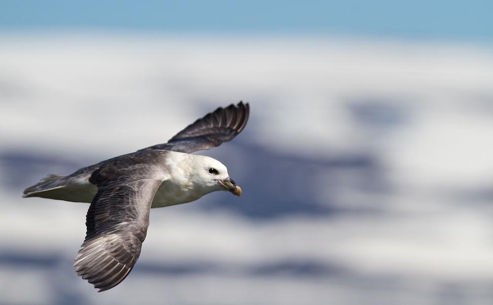 oiseaux, Islande, faune, fulmar