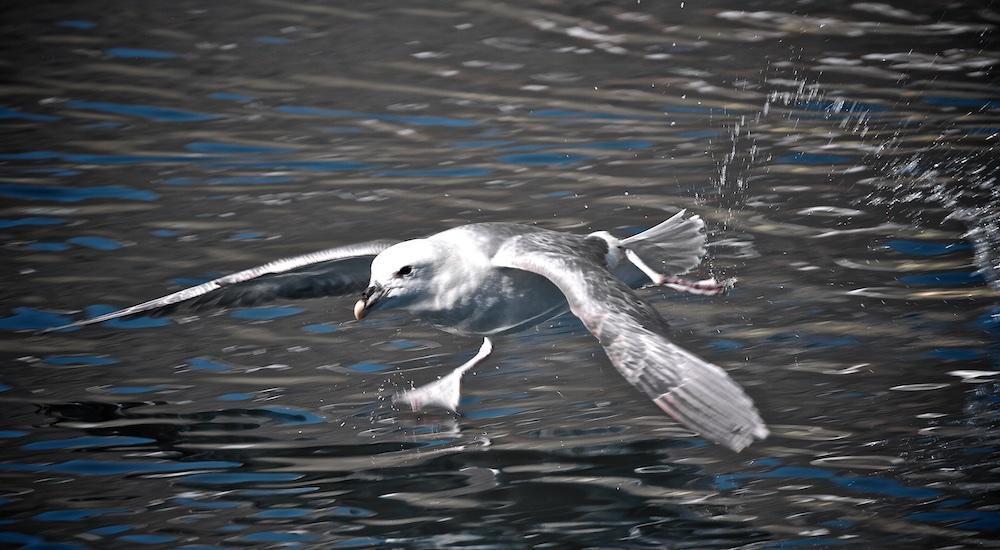 fulmar boreal, decollage, Islande