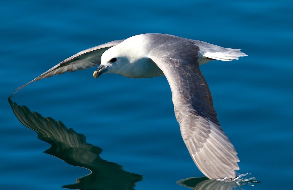 fulmar boreal, oiseaux, Islande, vol