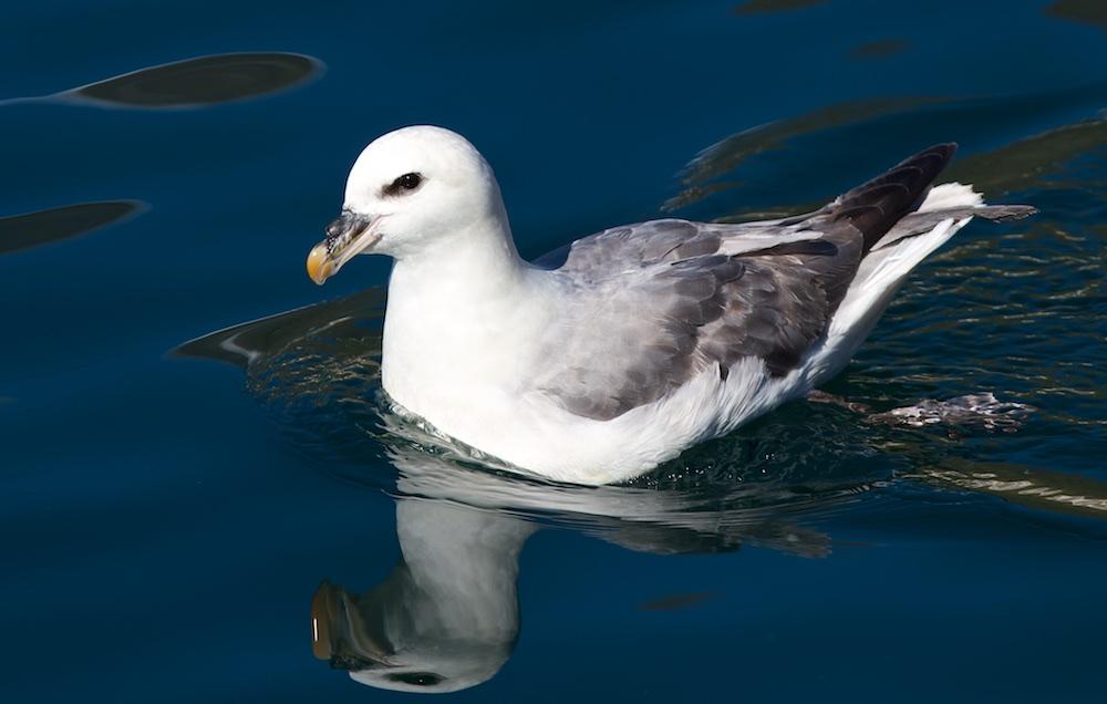 fulmar boreal, oiseaux, Islande