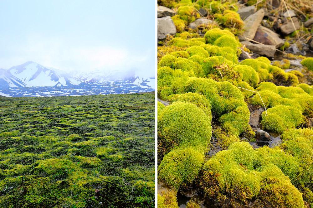 mousse, Islande