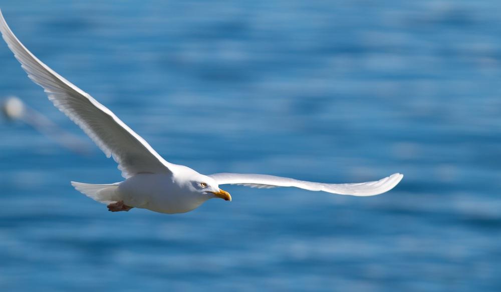 goeland bourgmestre, oiseaux, Islande