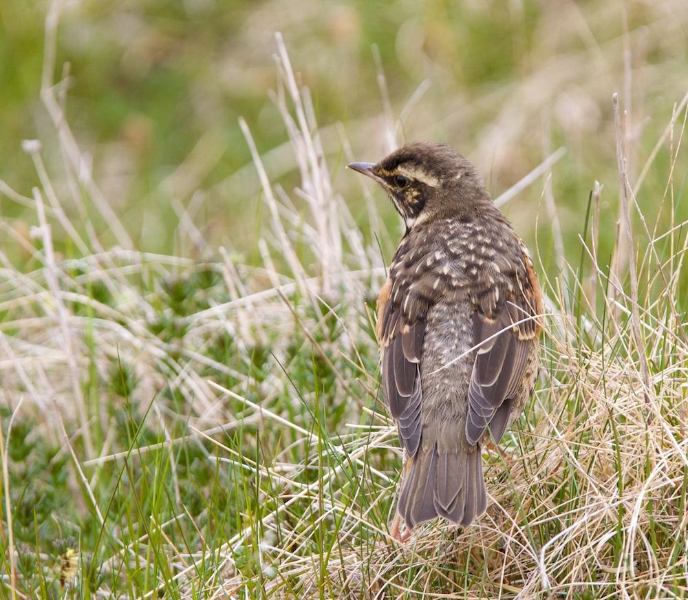 grive mauvis, juvenile, oiseaux, Islande