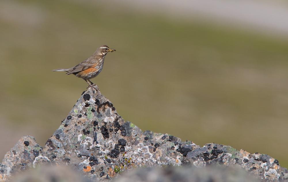 Grive mauvis, coburni, oiseaux, Islande