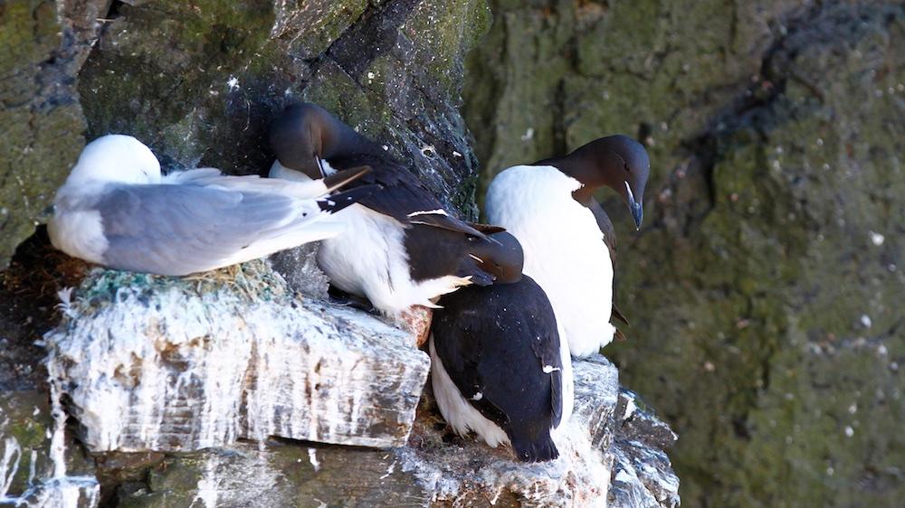 guillemot de Brunnich, oiseaux, Islande