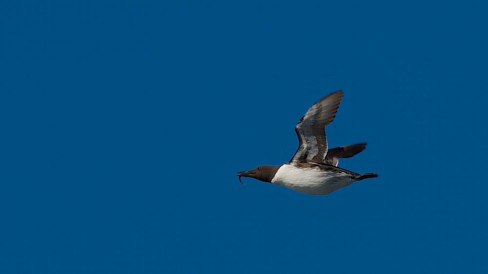 Guillemot de Troil, oiseaux, Islande