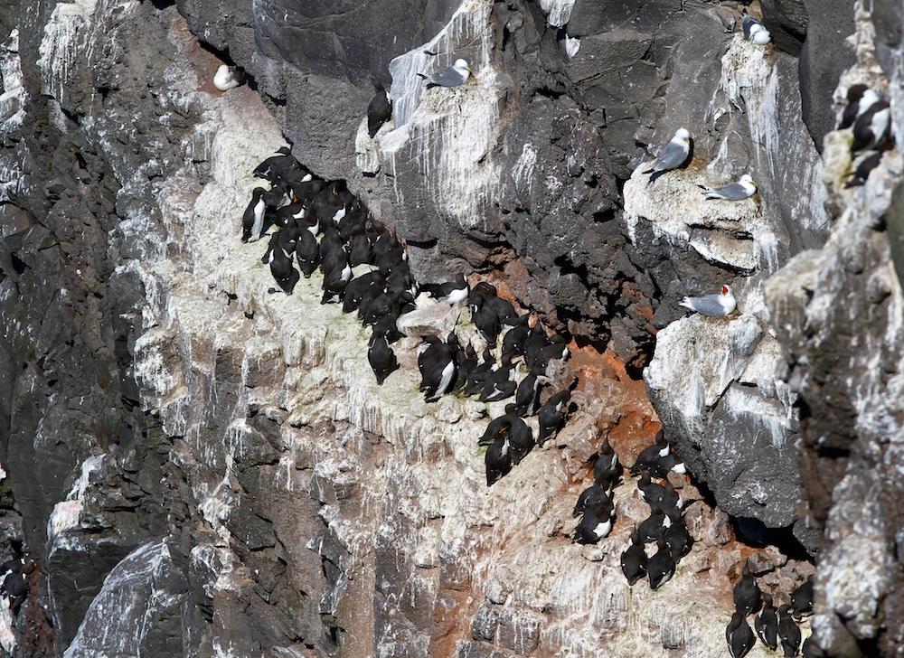 colonie, guillemots de Troil, Islande, oiseaux