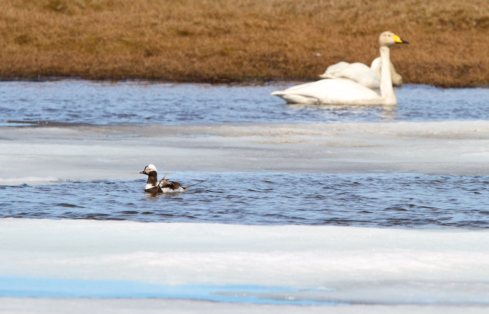 Harelde boreale, oiseaux, Islande