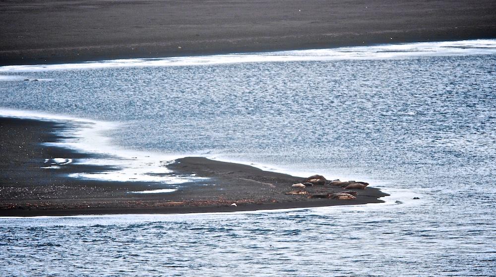phoques, Hvitserkur, Islande