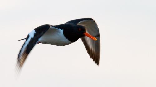 huitrier-pie, oiseaux, Islande