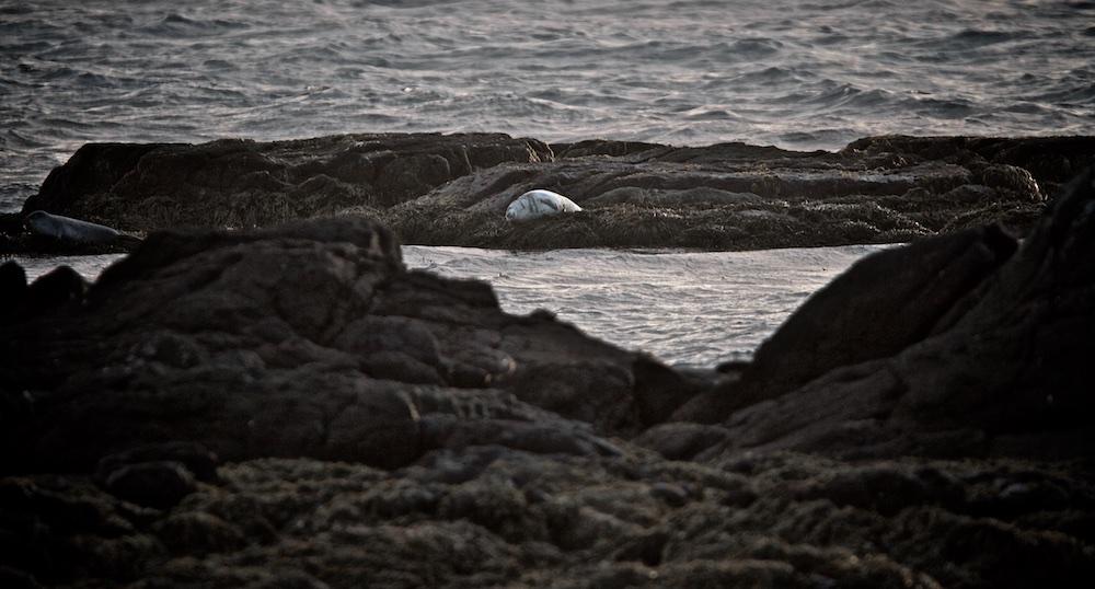 Illugastadir, phoques, Islande, Vatnsnes