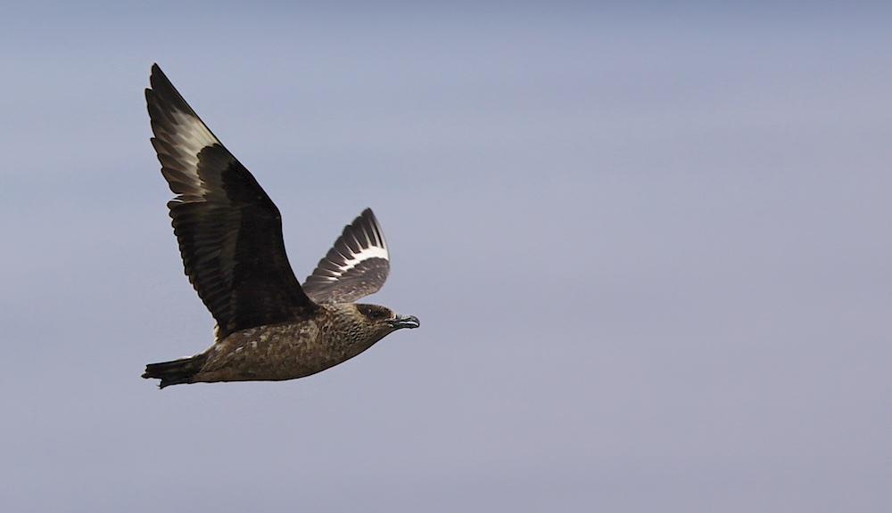 grand labbe, oiseaux, Norvège