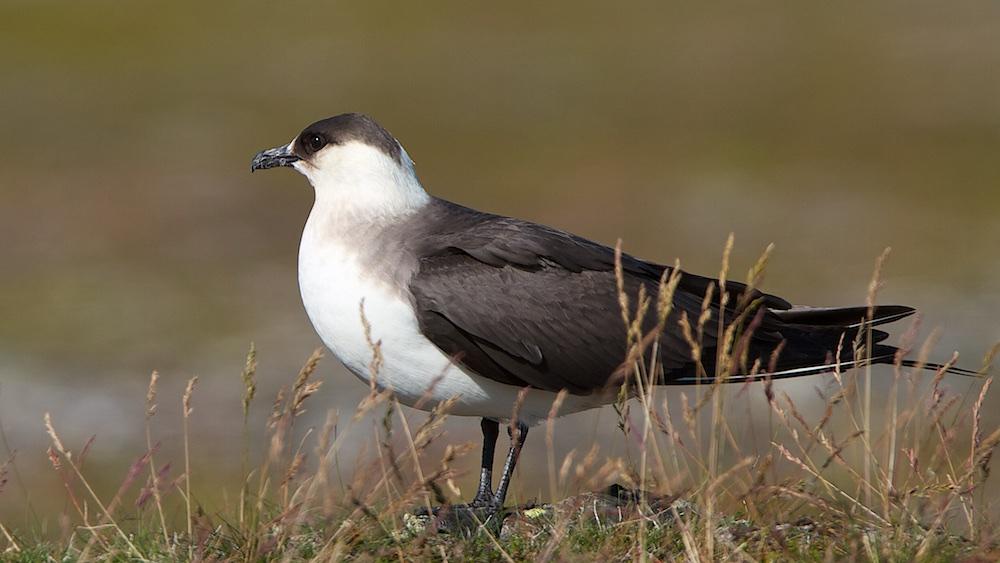 oiseaux, labbe parasite, phase claire, Varanger, Norvège, Laponie