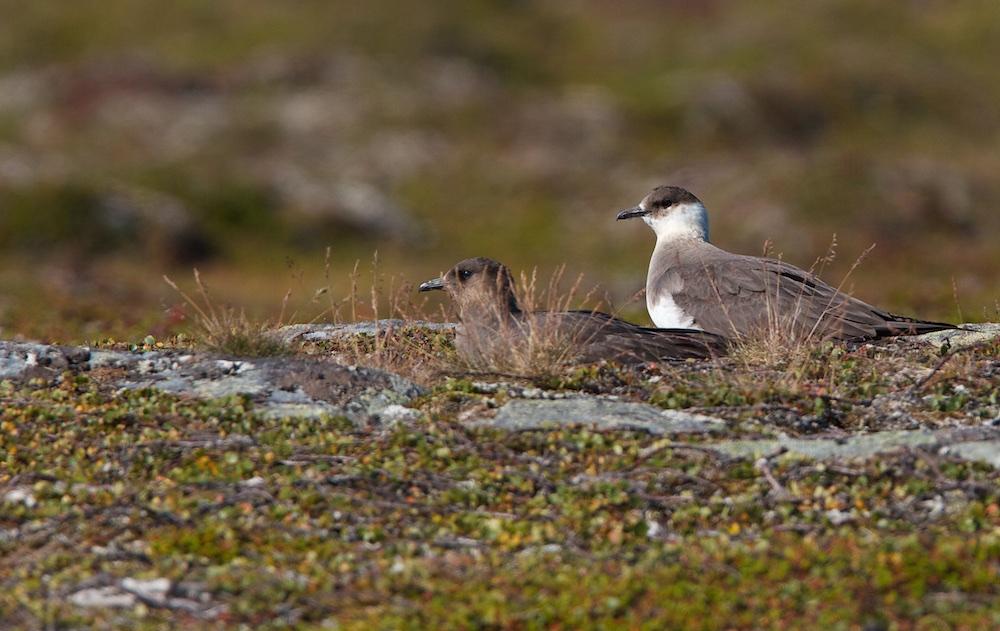 labbe parasite, couple, oiseaux, Laponie, Norvège