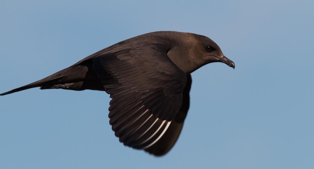 oiseaux, labbe parasite, phase sombre, Varanger, Norvège, Laponie