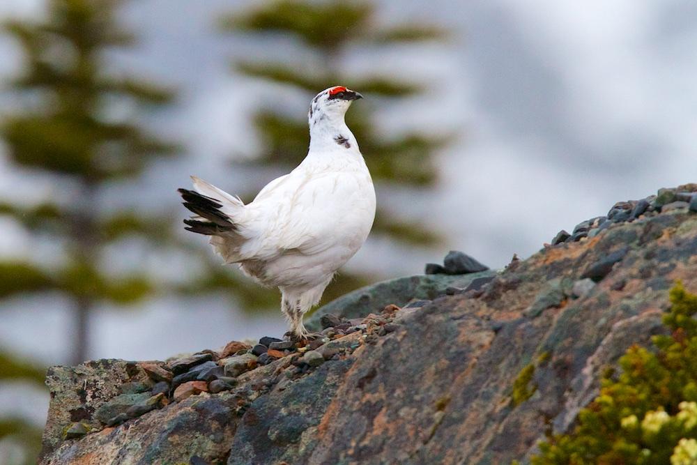 lagopede alpin, oiseaux, Alaska, Canada