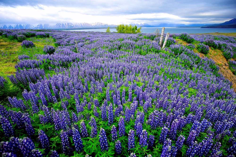 Lupin bleu, fleur, flore, Islande